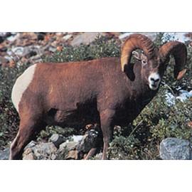 Delta grand gibier mouflon