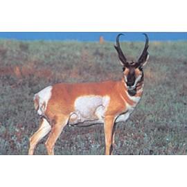 Delta grand gibier antilope