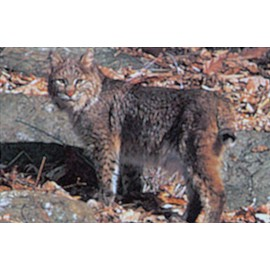 Delta moyen gibier lynx