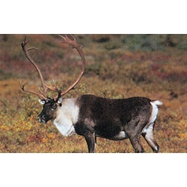 Delta grand gibier caribou